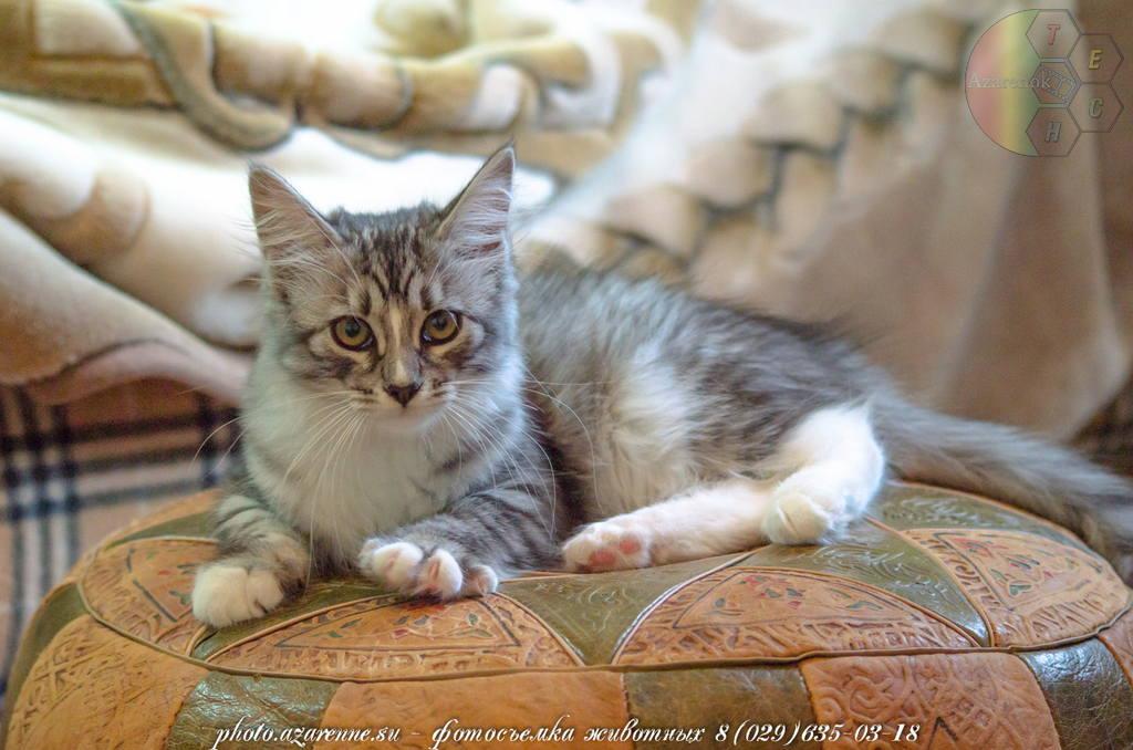 фотосъемка сибирских котов светлая_03