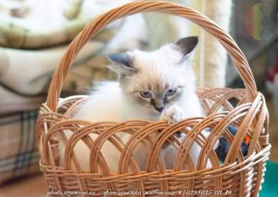 фотосъемка сибирских котов светлая_05