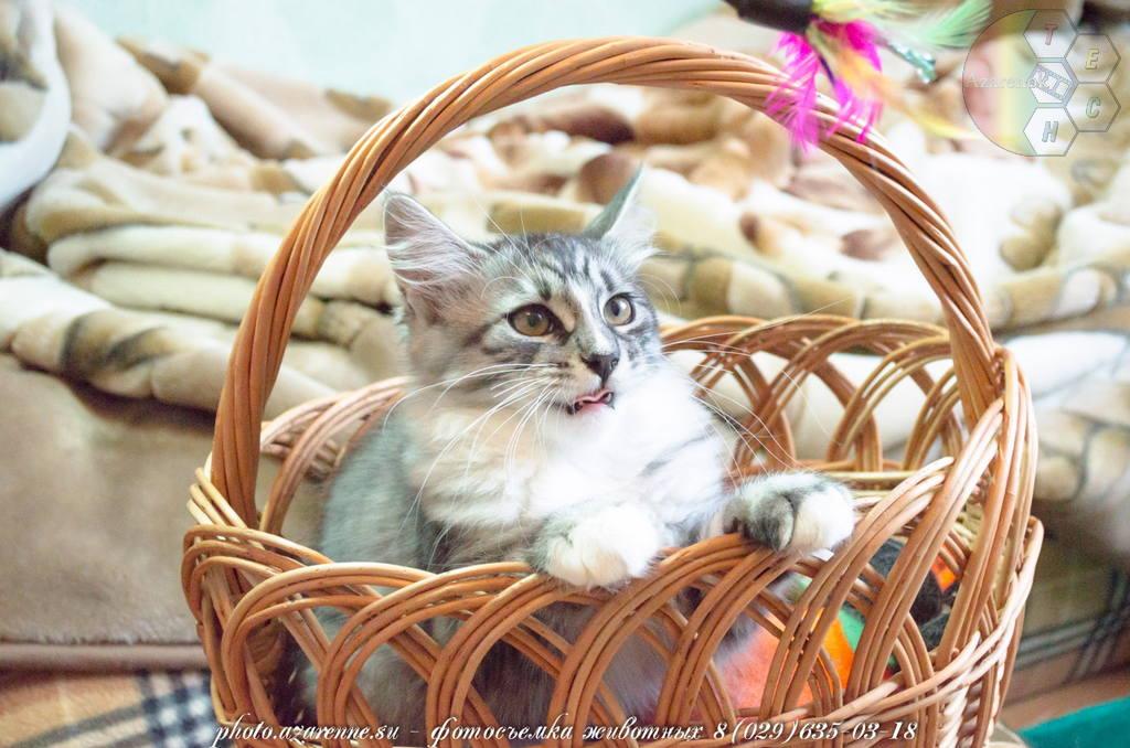 фотосъемка сибирских котов светлая_06