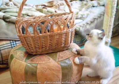 фотосъемка сибирских котов светлая_07