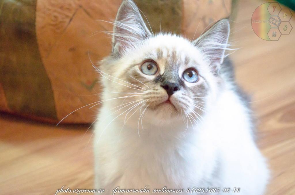 фотосъемка сибирских котов светлая_08