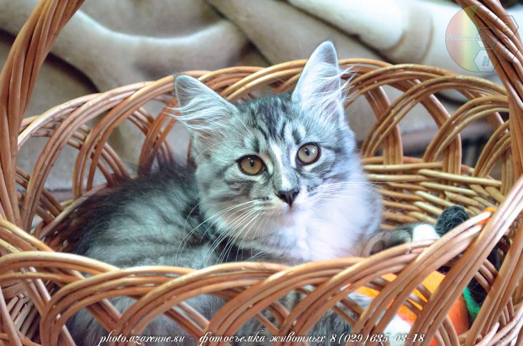 фотосъемка сибирских котов светлая_10
