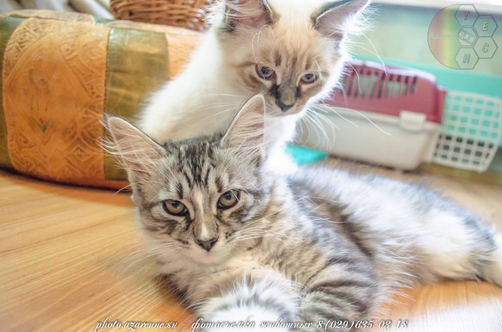 фотосъемка сибирских котов светлая_14