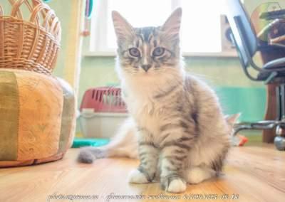 фотосъемка сибирских котов светлая_16
