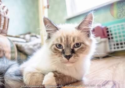 фотосъемка сибирских котов светлая_19